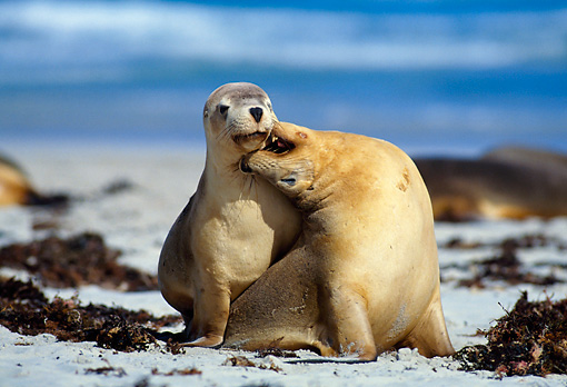 SEA 04 KH0012 01 © Kimball Stock Two Australian Sea Lions Sitting On Beach Playing