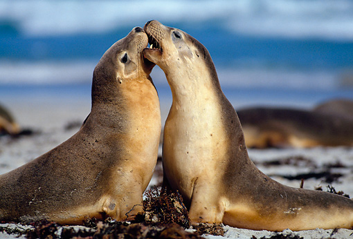 SEA 04 KH0013 01 © Kimball Stock Two Australian Sea Lions Sitting On Beach Playing