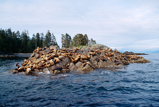 SEA 04 LS0001 01 © Kimball Stock Steller's Sea Lions Congregating On Rocky Island