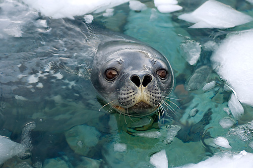 SEA 04 SK0005 01 © Kimball Stock Weddell Seal Swimming In Southern Ocean Off Western Antarctic Peninsula