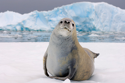 SEA 04 SK0006 01 © Kimball Stock Crabeater Seal Resting On Sea Ice In Southern Ocean Off Western Antarctic Peninsula