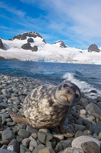 SEA 04 SK0010 01 © Kimball Stock Weddell Seal Resting On Rocky Beach Western Antarctic Peninsula