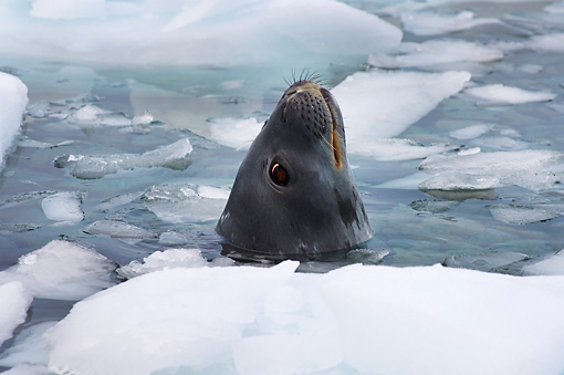 SEA 04 SK0014 01 © Kimball Stock Shoulder Shot Of Weddell Seal Swimming In Southern Ocean Off Western Antarctic Peninsula