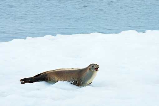 SEA 04 SK0015 01 © Kimball Stock Crabeater Seal Barking On Sea Ice In Southern Ocean Off Western Antarctic Peninsula