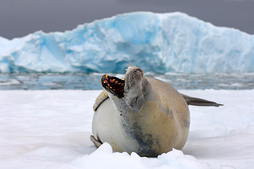 SEA 04 SK0016 01 © Kimball Stock Crabeater Seal Barking On Sea Ice In Southern Ocean Off Western Antarctic Peninsula