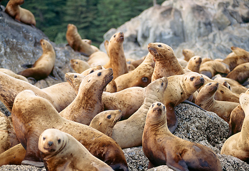 SEA 04 TL0002 01 © Kimball Stock Steller's Sea Lion Pups Congregating On Rocks