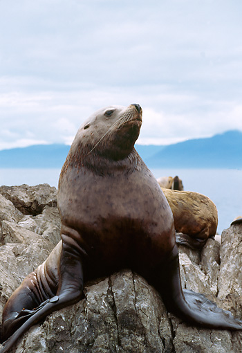 SEA 04 TL0004 01 © Kimball Stock Portrait Of Steller's Sea Lion Sitting On Rock Sky Clouds Mountain Water