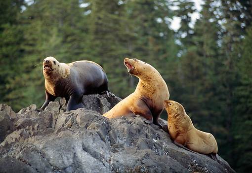 SEA 04 TL0008 01 © Kimball Stock Steller's Sea Lions Barking On Rocks Pine Tree Background