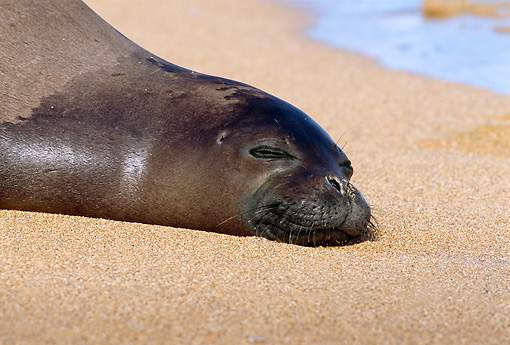 SEA 04 TL0010 01 © Kimball Stock Head Shot Of Hawaiian Monk Seal Sunning On Sandy Beach