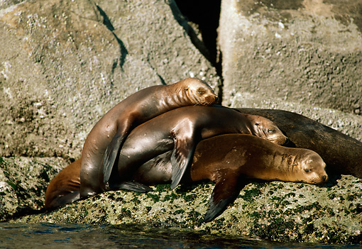 SEA 04 TL0012 01 © Kimball Stock Three California Sea Lions Sunning On A Rock