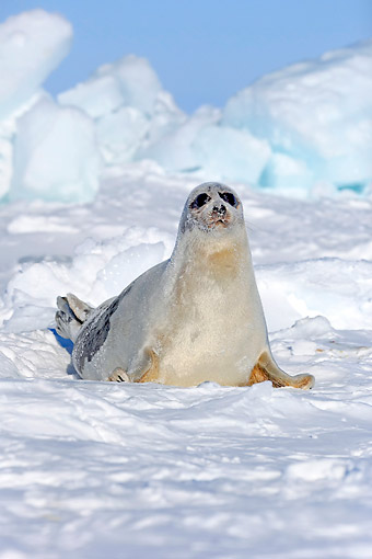 SEA 06 AC0005 01 © Kimball Stock Harp (Saddleback) Seal Female Sitting On Ice, Magdalen Islands, Gulf Of St. Lawrence, Quebec, Canada