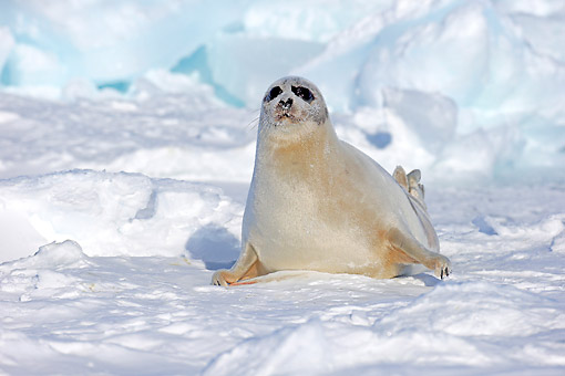 SEA 06 AC0006 01 © Kimball Stock Harp (Saddleback) Seal Female Sitting On Ice, Magdalen Islands, Gulf Of St. Lawrence, Quebec, Canada