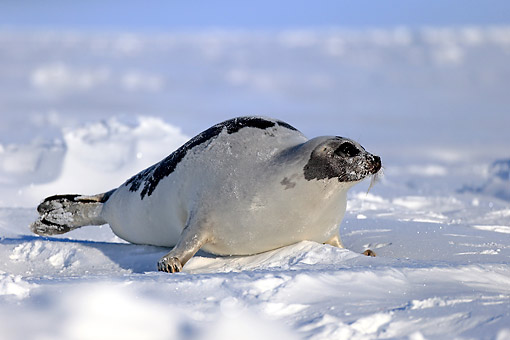 SEA 06 AC0007 01 © Kimball Stock Harp (Saddleback) Seal Female Sitting On Ice, Magdalen Islands, Gulf Of St. Lawrence, Quebec, Canada