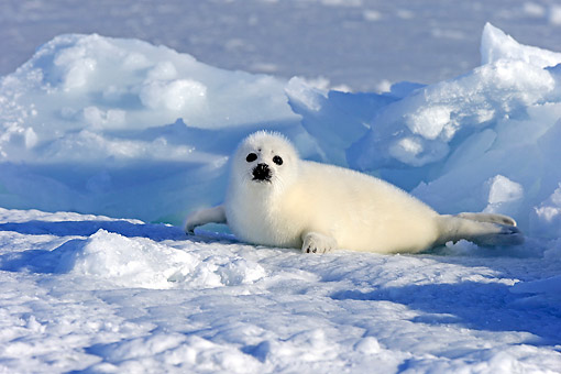SEA 06 AC0010 01 © Kimball Stock Harp (Saddleback) Seal Pup Laying On Ice, Magdalen Islands, Gulf Of St. Lawrence, Quebec, Canada