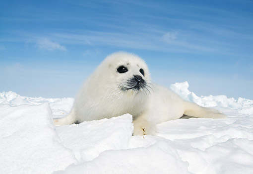 SEA 06 GL0001 01 © Kimball Stock Harp Seal Pup Laying On Ice Quebec