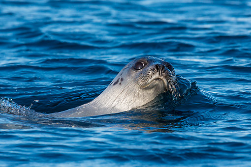 SEA 06 KH0003 01 © Kimball Stock Harp Seal Swimming In Sea Svalbard