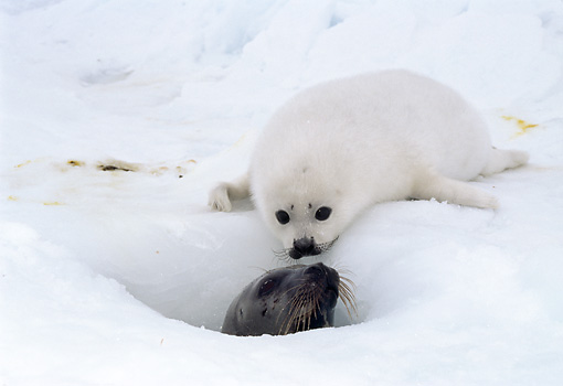SEA 06 MC0001 01 © Kimball Stock Harp Seal Pup Looking Into Hole In Snow With Other Seal