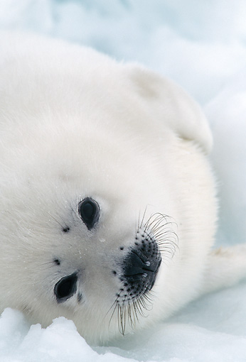 SEA 06 MC0003 01 © Kimball Stock Portrait Of Harp Seal In Snow Canada