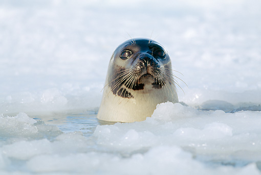 SEA 06 MH0001 01 © Kimball Stock Harp Seal At Breathing Hole In Ice Gulf Of St. Lawrence, Canada
