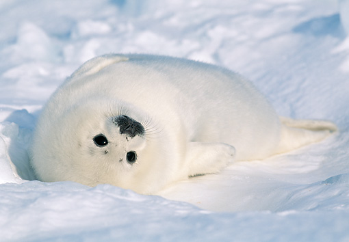 SEA 06 MH0002 01 © Kimball Stock Harp Seal Pup Resting On Ice At Gulf Of St. Lawrence, Canada