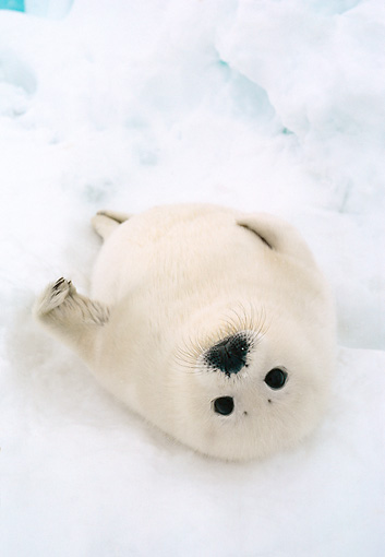 SEA 06 NE0001 01 © Kimball Stock Harp Seal Pup Laying On Ice Pack In Spring Canada