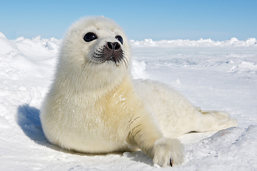 SEA 06 WF0001 01 © Kimball Stock Harp Seal Pup Laying On Ice Canada