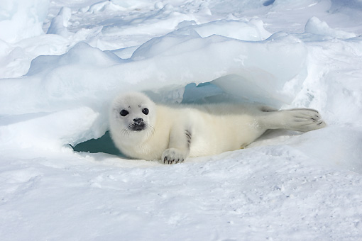 SEA 06 WF0002 01 © Kimball Stock Harp Seal Pup Laying On Ice Canada