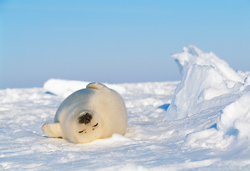 SEA 06 KH0001 01 © Kimball Stock Harp Seal Pup Laying On Back On Snow