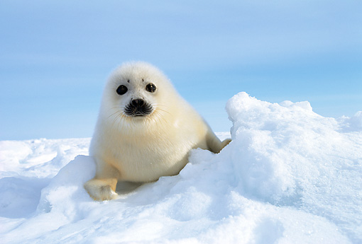 SEA 06 KH0002 01 © Kimball Stock Harp Seal Pup Sitting On Snow
