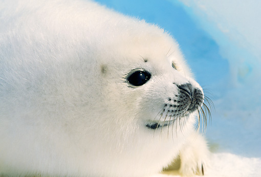 SEA 06 RW0001 01 © Kimball Stock Head Shot Of Baby Harp Seal Pup On Pack Ice