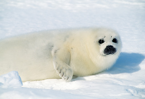 SEA 06 RW0002 01 © Kimball Stock Harp Seal Pup On Pack Ice