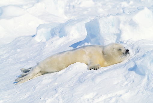 SEA 06 RW0003 01 © Kimball Stock Harp Seal Pup Sleeping On Pack Ice Canada