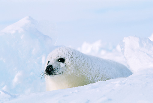 SEA 06 RW0004 01 © Kimball Stock Harp Seal Pup On Ice Pack Canada