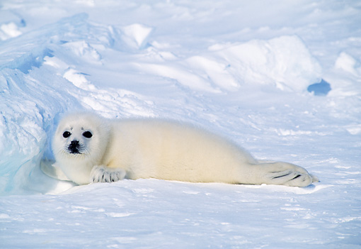 SEA 06 RW0005 01 © Kimball Stock Harp Seal Pup On Ice Pack