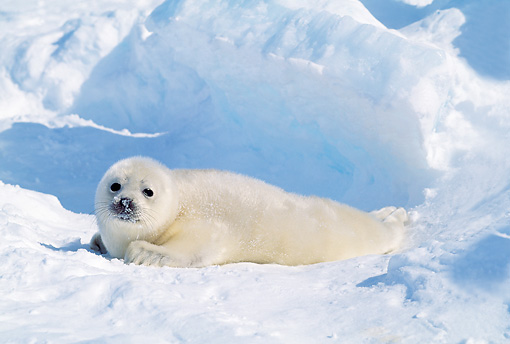 SEA 06 RW0006 01 © Kimball Stock Harp Seal Pup On Ice Pack