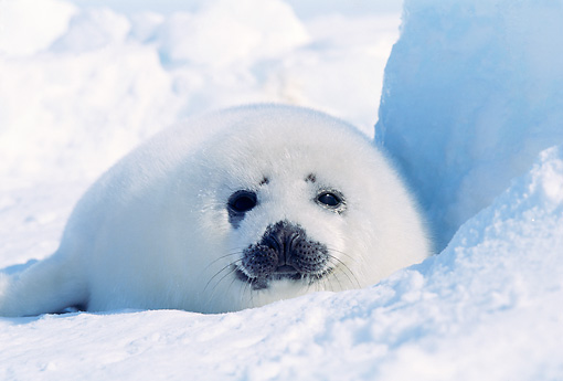 SEA 06 RW0007 01 © Kimball Stock Harp Seal Pup On Ice Pack