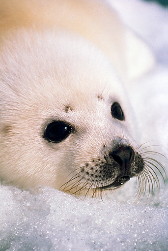 SEA 06 SM0004 01 © Kimball Stock Portrait Of Harp Seal Pup Resting On Ice Gulf Of St Lawrence (Phoca groenlandica) Quebec