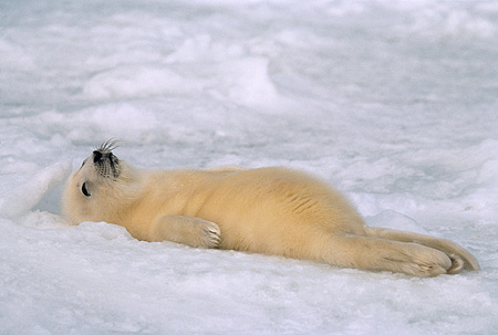 SEA 06 SM0021 01 © Kimball Stock 2 Or 3 Day Old Harp Seal Pup With Umbilical Cord Showing (Phoca groenlandica) Quebec