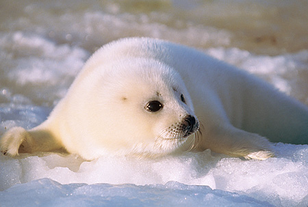 SEA 06 SM0024 01 © Kimball Stock 3 Or 4 Day Old Harp Seal Resting On Ice Gulf Of St Lawrence (Phoca groenlandica) Quebec