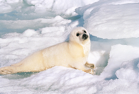 SEA 06 SM0032 01 © Kimball Stock 3 Or 4 Day Old Harp Seal Pup Resting On Ice Gulf Of St Lawrence (Phoca groenlandica) Quebec