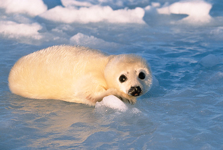 SEA 06 SM0036 01 © Kimball Stock 2 Or 3 Day Old Harp Seal Resting On Ice Gulf Of St Lawrence (Phoca groenlandica) Quebec