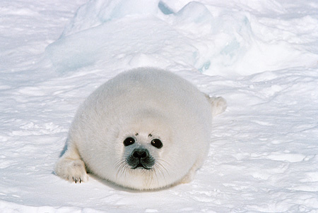 SEA 06 SM0050 01 © Kimball Stock Harp Seal Pup Laying On Snow Looking At Camera