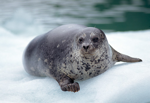 SEA 07 TL0003 01 © Kimball Stock Portrait Of Harbor Seal Resting On Snow At Water's Edge