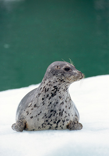 SEA 07 TL0004 01 © Kimball Stock Portrait Of Harbor Seal Resting On Snow