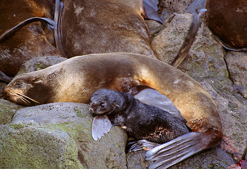 SEA 08 TL0001 01 © Kimball Stock Northern Fur Seal Mother Laying On Rock With Pup