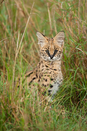 SER 01 MC0003 01 © Kimball Stock Serval Sitting In Tall Grass, Kenya