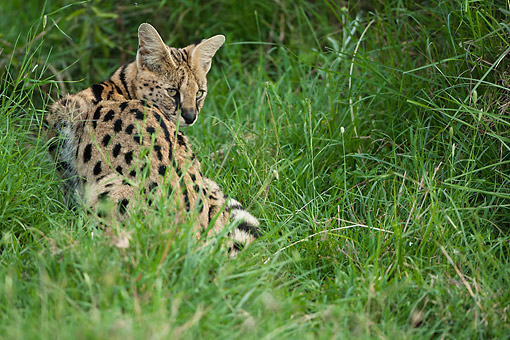 SER 01 MC0004 01 © Kimball Stock Serval Sitting In Tall Grass, Kenya
