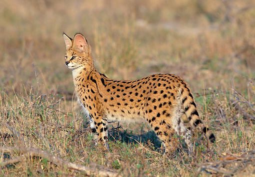 SER 01 MH0001 01 © Kimball Stock Serval Standing Alert In Savanna South Africa