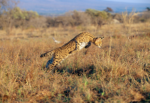 SER 01 MH0002 01 © Kimball Stock Serval Running Through Savanna South Africa