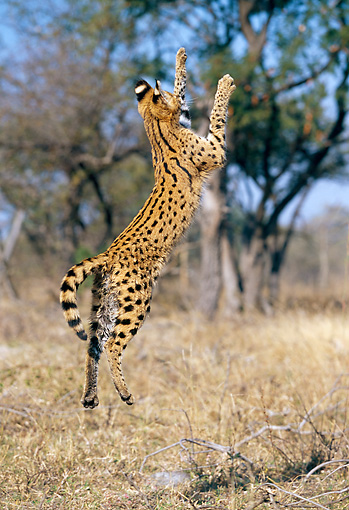 SER 01 MH0003 01 © Kimball Stock Serval Leaping Into Air On Savanna South Africa